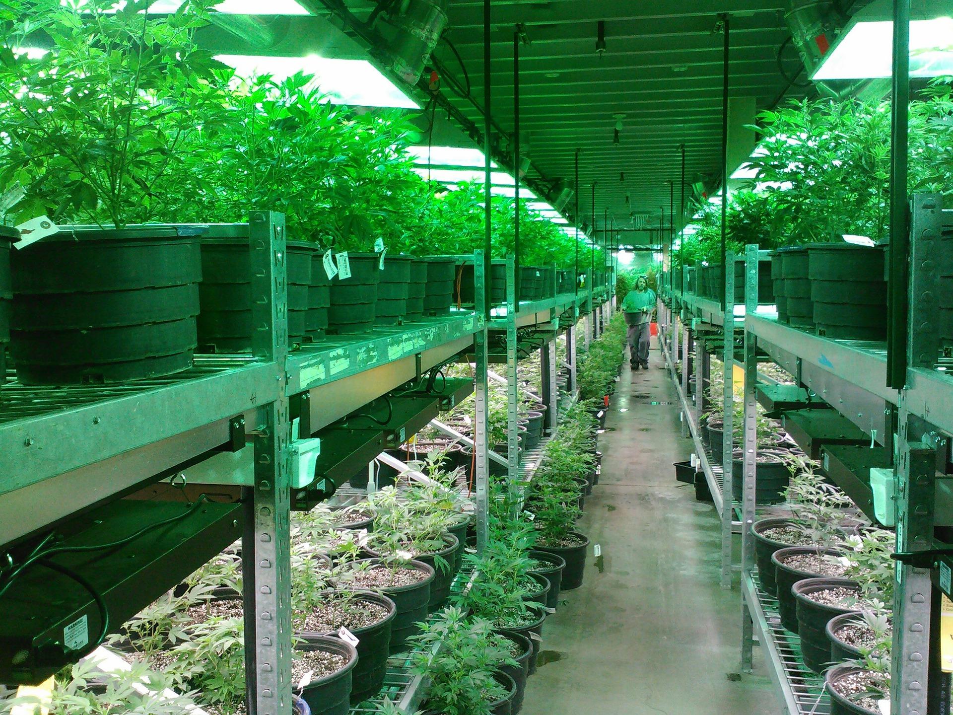 marijuana-269851_1920