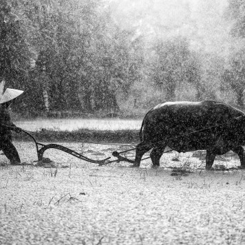 Authoritarianism recognizes no difference between beings. Each are exploited. Rice farming.