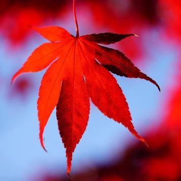 Maple leaves...