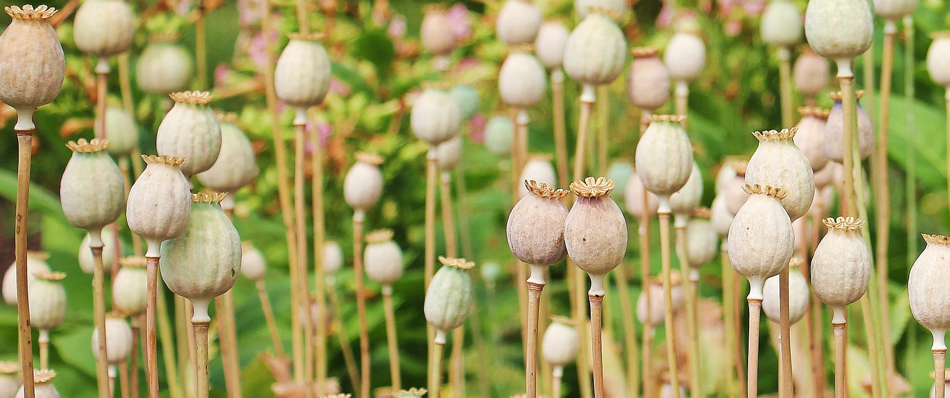 poppy-1540284_1920
