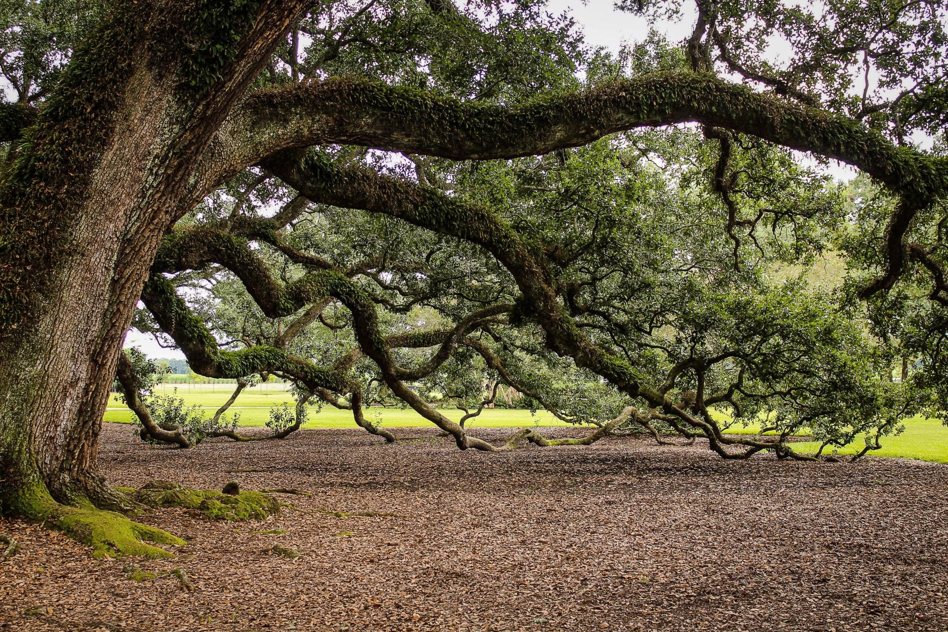 tree, virginia-live-oak-440351