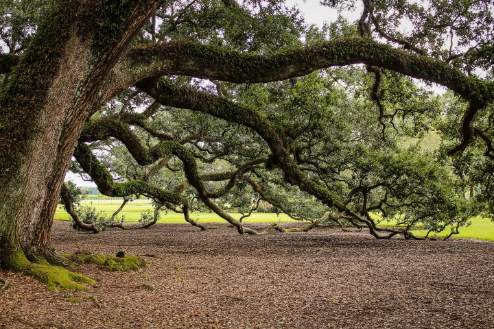 tree, virginia-live-oak-440351